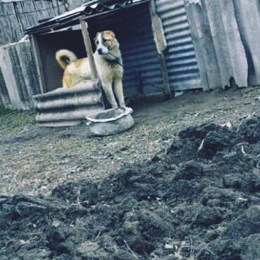 Животные - Гёйчай: İT