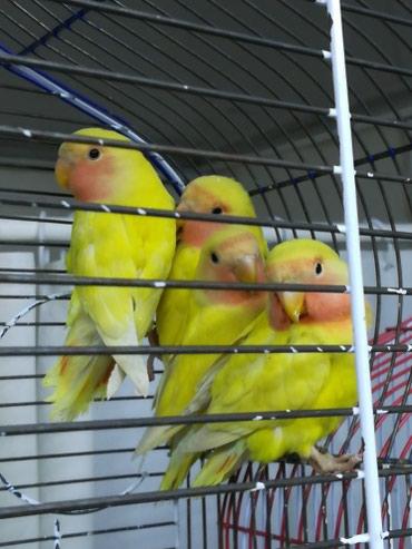 Жёлтые неразлучники в Сокулук