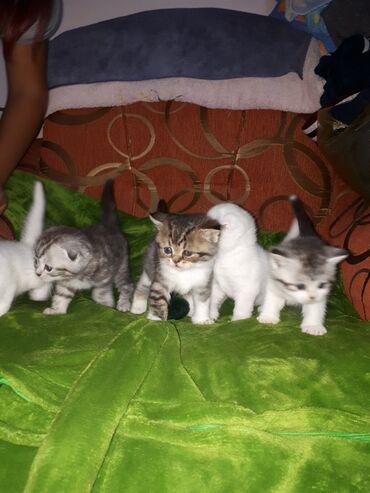 Животные - Кыргызстан: Шотландские вислоухие котята скотиш фолд и страйт. Плюшевые малыши