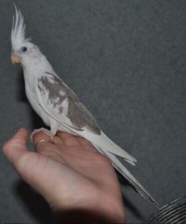 Птицы - Кыргызстан: Белощекие кареллы хорошо учатся говорить и приручаются к рукам. Так же