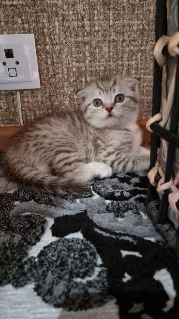 Животные - Кыргызстан: Шотландская Вислоухая. Котенку 1.5 месяца, крупный. Мальчик. Родители