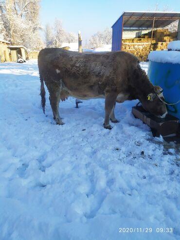 алмазный бур цена бишкек в Кыргызстан: Стельнная 7 месяцев . Будет 2 отёл искусственного осеменения бурый