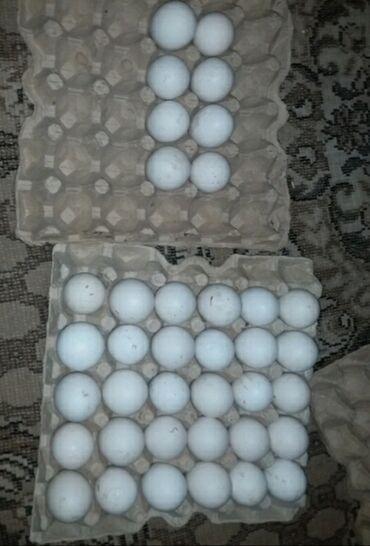 Bronz Kanada Hindusqa yumurtasi satlir