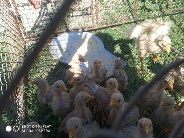 Животные - Кызыл-Адыр: Жожо сатам 20 жожо бар биросу 200 сомдон оздору жайылып калган