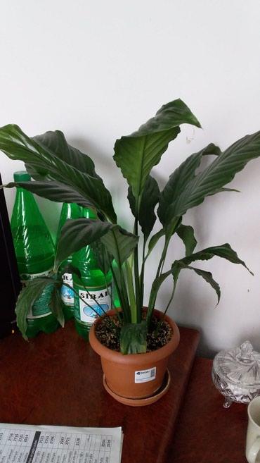 Otaq bitkiləri Sumqayıtda: Спотфилиум