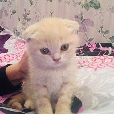 вислоухий сиамский кот в Азербайджан: Скотиш Фолд Мальчик. 40 дней. Чистокровный вислоухий Шотландец от