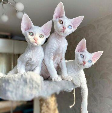 Гиссарская порода овец - Кыргызстан: Продаю высоко породного котёнка Сфинкс. Браш