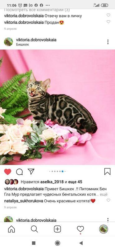 Коты - Кыргызстан: Остался один. Бенгальский шикарный котик 10мес . Красивейший мальчик