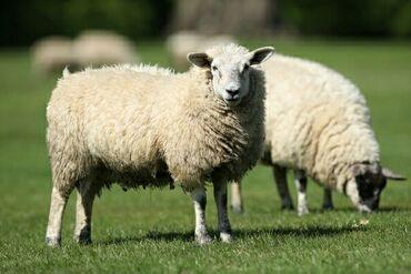 Продаю | Овца (самка) | Полукровка | На забой | Племенные