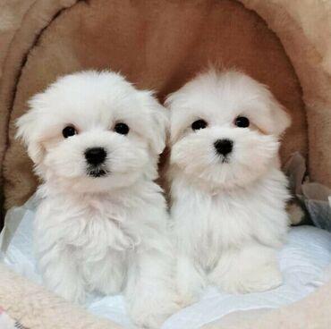 Για σκύλους - Αθήνα: Maltese puppies Potty trained, vaccinated and wormed, both genders
