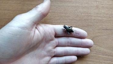 сетка от птиц в Кыргызстан: Сверчки. Корм для Хамелеонов, птиц, рыб, пауков, скорпионов. 5 сом шт