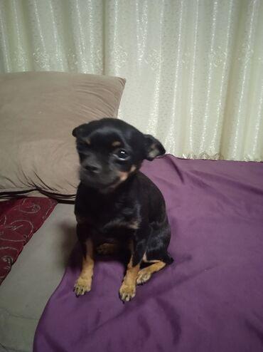 35 объявлений | ЖИВОТНЫЕ: Продам щенка девочку чихуахуа зовут София чистая послушная любит