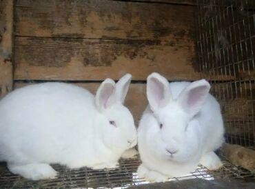 Продаю | Кролик самец | Для разведения
