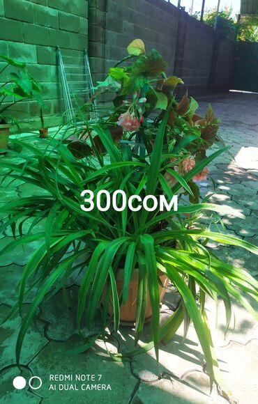 Денежное дерево - Кыргызстан: Цветы большие