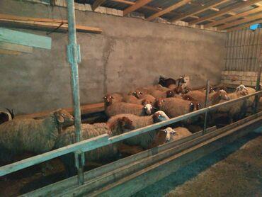 Животные - Хырдалан: Товары и оборудование для с/х животных