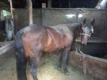 Животные - Студенческое: Продаются жирные и перспективные лошади: кобылы, возраст 4 года, 2