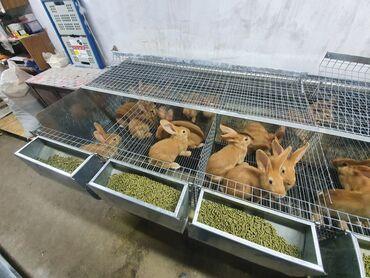 Грызуны - Кыргызстан: Продаю кроликов-(порода -бургундские ),первое поколение. Родители заве