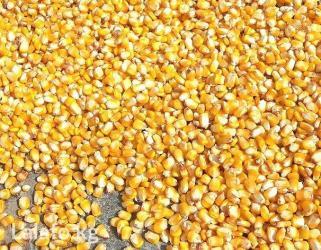 продаю кукурузу рушенную,сухую,оптом урожай 2017г. в Кант