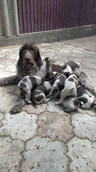 Продаём щенков Дратхаара (щенки на Иссык-Куле). Цена договорная