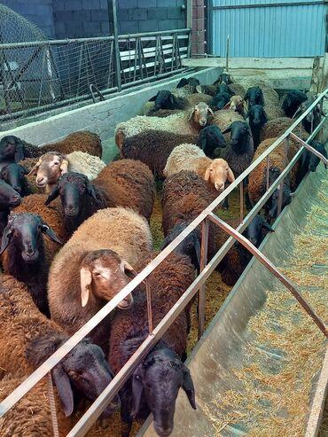Бараны, овцы - Дополнительно: Племенные - Бишкек: Продаю   Баран (самец)   Гиссарская   Для разведения   Племенные