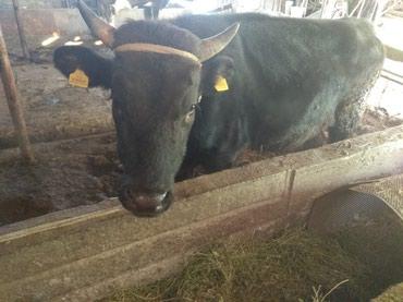 Продаю быка возраст 2года  черного света в Кант