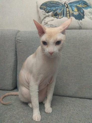 Кот сфинкс, ищет подружку . в Бишкек