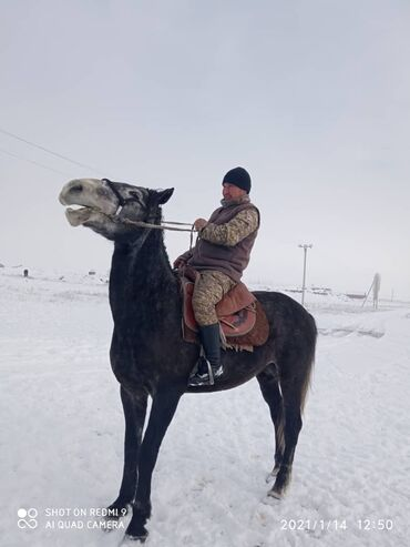 Болгарка бу - Кыргызстан: Айгыр сатылат 5 жашбою1,70см ушу номерге кайрылыныздар