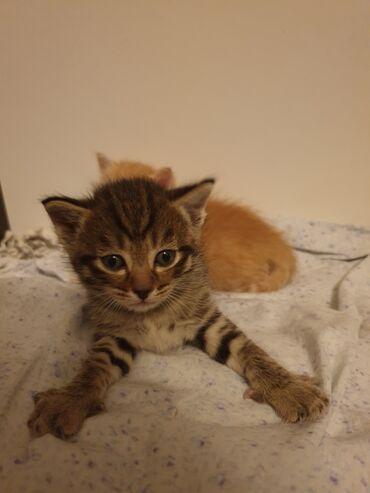 Коты - Кыргызстан: Отдам котёнка в добрые руки. Девочка, 1,5 месяца