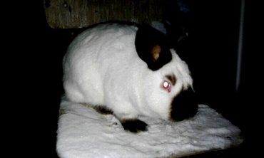 продаются чистокровные кролы калифорнийской породы. родители завезены  в Бишкек