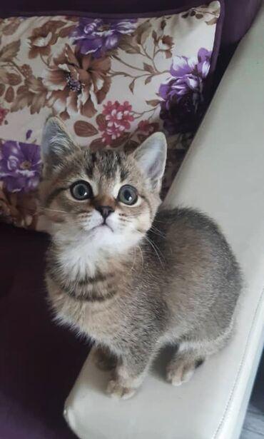 Животные - Бишкек: Продается котенок (девочка) тикированное золото (страйт)2 месяца,очень
