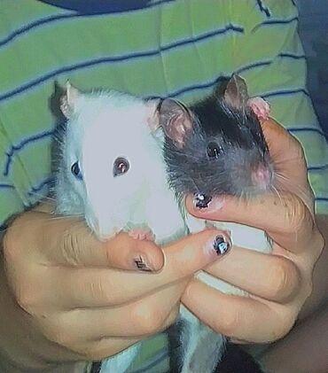 Крысы - Кыргызстан: Продаю ручных крыс,добрые ласковые,не кусаются) можно купить