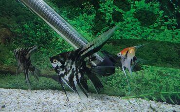 guppi baliqlari - Azərbaycan: Balıqları satıram.5ədəd iri skalari3ədəd orta ölcü skalari1ədəd