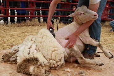 Стрижка овец на выезд,чисто, быстро и качественно, цена договорная