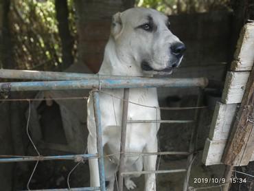 защита от собак в Кыргызстан: Продаю собак породы азиатской овчарки, 1год и восемь месяца за обоих п
