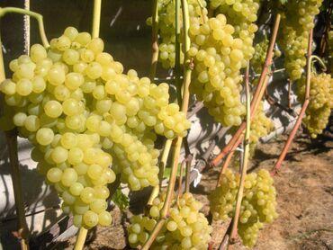 Овощи, фрукты - Кыргызстан: Куплю виноград