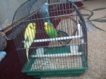 Продаю  3 попугай с клеткой в Ош
