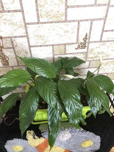 Другие комнатные растения - Кыргызстан: Спатифиллум ( женское счастье) продаю цветок. В горшке 3 штуки!!!