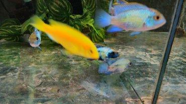 Нанокары. аквариумные рыбки в Бишкек - фото 4