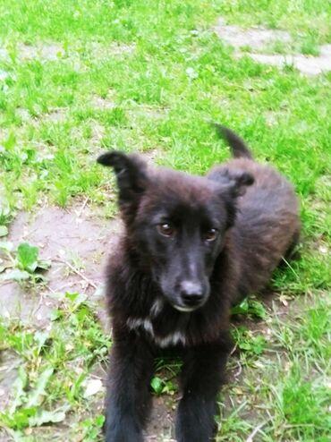 Животные - Бишкек: Пристраевается щенок 3-4 мес в добрые руки, в дом где есть еще