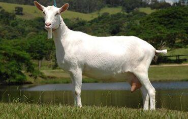 22 объявлений: Зааненский козы сатылат   Адрес: БазарКоргон