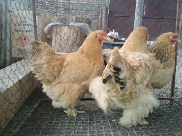 Яйца породистой брамы и кокенхина в Лебединовка - фото 5