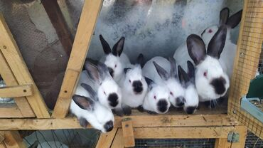 Təmiz qan Kaliforniya dovşanları. 70 günlük dovşanlardı. Üçüncü