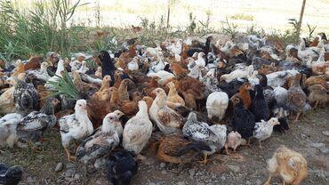 Продаю домашних цыплят оптом!!! Только звонить!!!