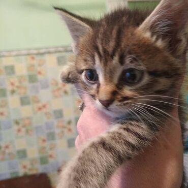 Коты - Беловодское: Отдам котят в хорошие руки к лотку приучены,проживаю село беловодское