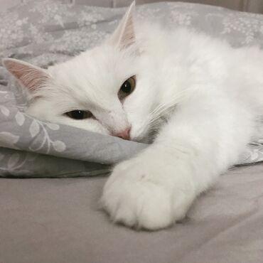 Коты - Кыргызстан: Отдадим кошку турецкая Ангора 5 лет в хорошие руки! Кошка ласковая, иг
