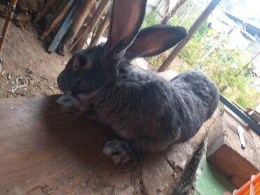 кролики бишкек in Кыргызстан   ДЕКОРАТИВНЫЕ КРОЛИКИ: Продаю   Кролик самец   Серый великан   На забой, Для разведения