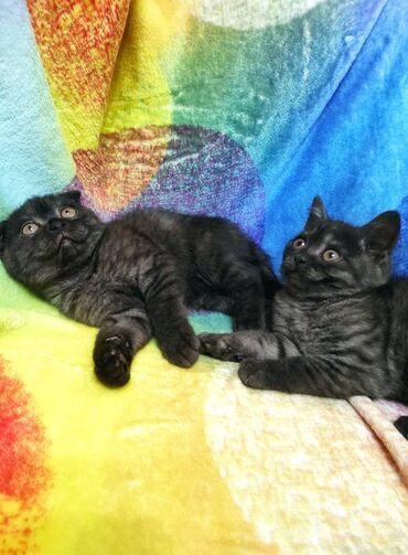 Heyvanlar - Azərbaycan: Шотландские котята, вислоухий и прямоухий, 2 мальчика. Малыши от чисто