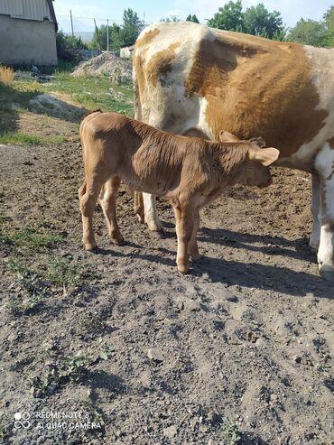 Животные - Кунтуу: Коровы, быки