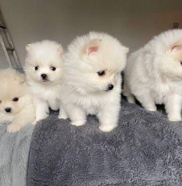 Πανέμορφα κουτάβια Pomeranian κουτάβια προς πώληση μόνο σε 5 * σπίτια
