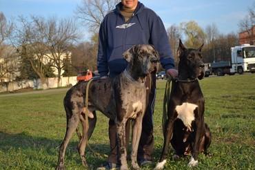 dog - Azərbaycan: Great Dane(Nemeçski dog)-şəkildəki və ya başqa balaların sifarişi